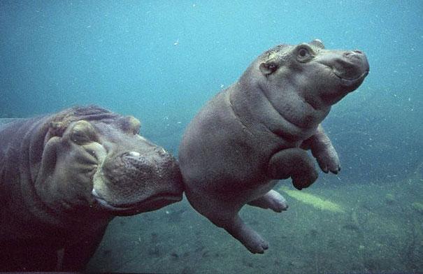 bebe hipopotamo nadando con la madre