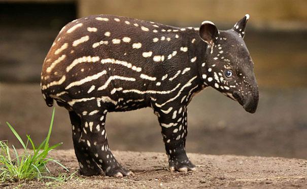 Tapir bebe muy tierno en el zoologico