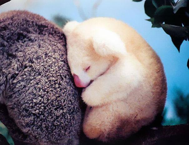 bebe blano koala muy tierno durmiendo