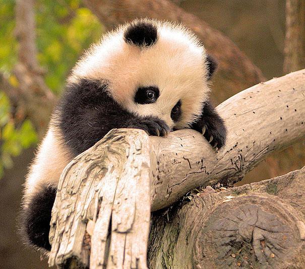 panda bebe muy tierno